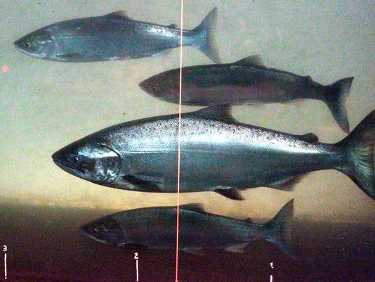 636033219560475956-Dying-Salmon-Davi-1-.jpg
