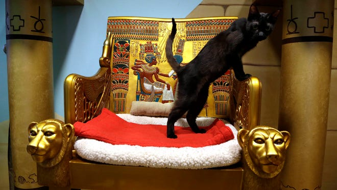 A cat checks out his surroundings in the King Tut-themed cat playroom at the Oregon Humane Society in Portland, Ore., on Dec. 18, 2014. Modern-day cats have not yet become associated with deities as they were in ancient Egypt, but the Internet has gotten them a little closer.