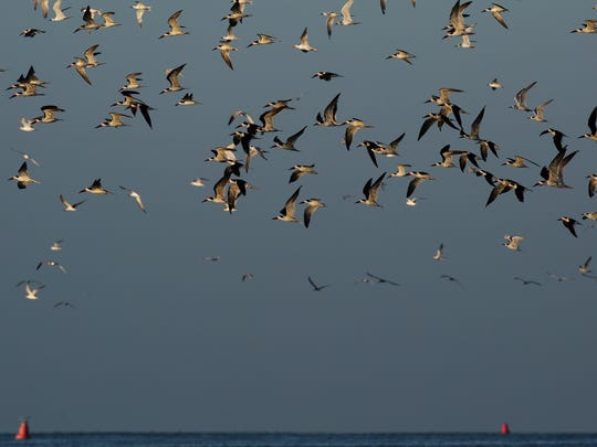 Black skimmers take flight along with other birds near