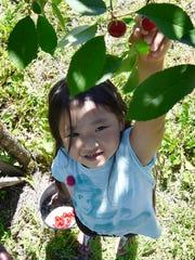 Rose Vue of Green Bay picks tart Montmorency cherries
