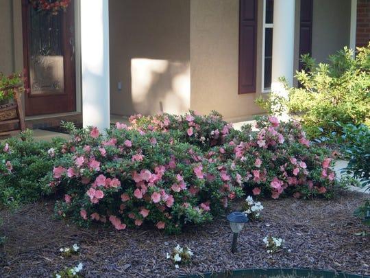 Lee home landscape of azalea garden beds