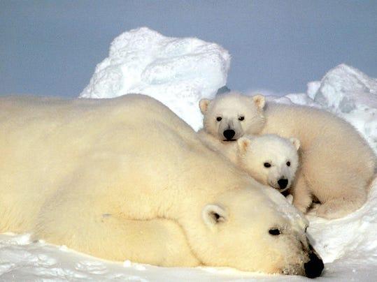 AP_Polar_Bears