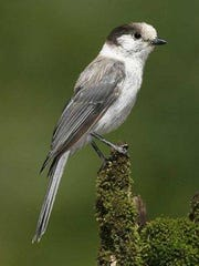 The gray jay is among the birds that frequent the Nulhegan Basin.