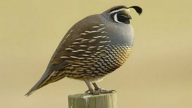 Each August, MDC conservation agents record the numbers of quail and pheasants they see while driving a 30-mile route - called the roadside index. A total of 110 routes are completed around the state.