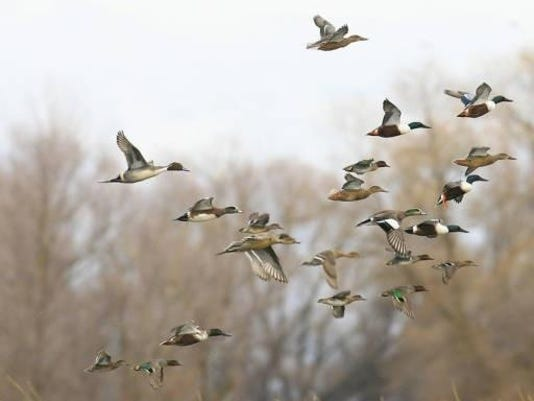 Ducks in flight