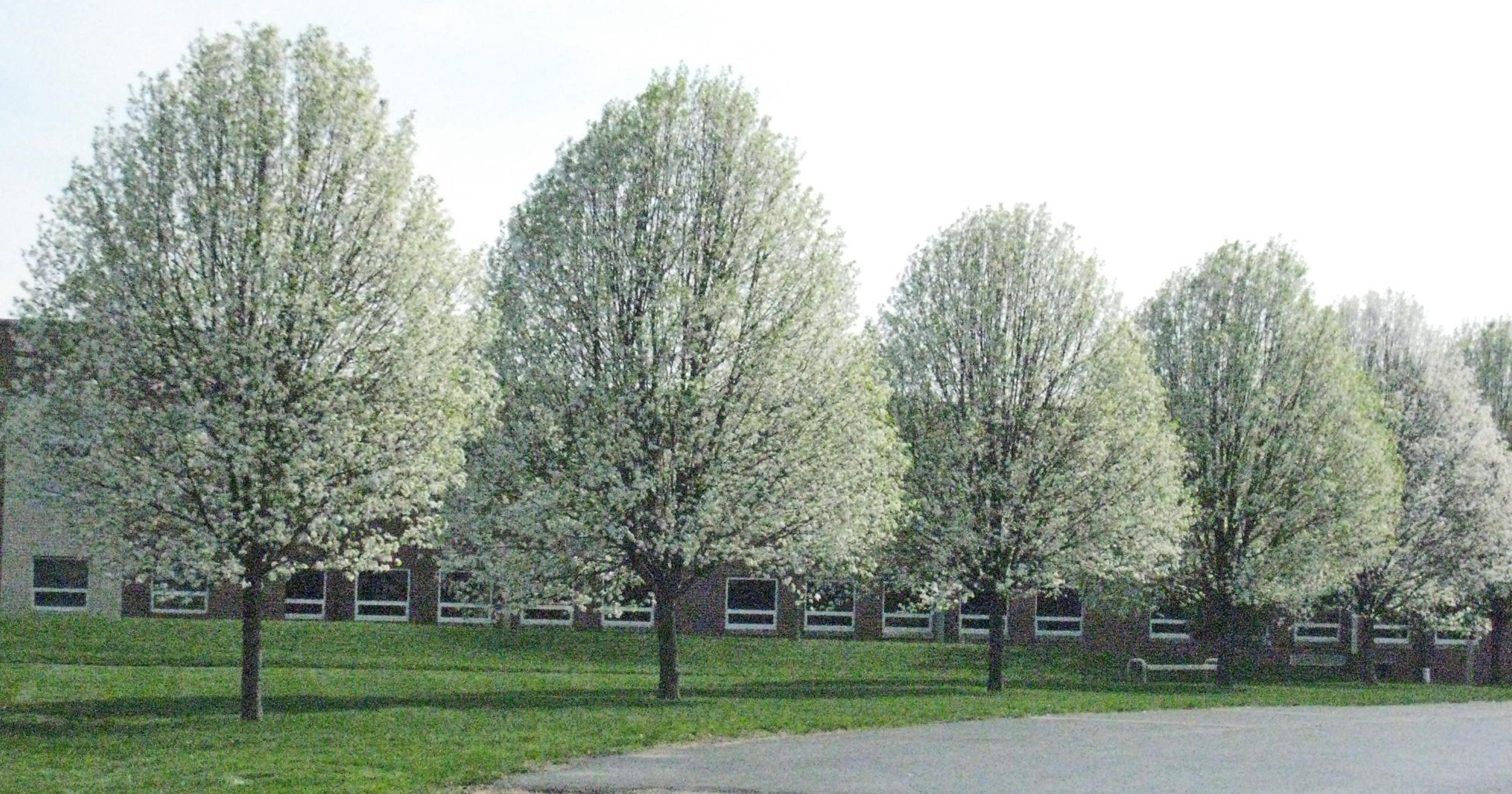 Let S Grow Cleveland Pear Trees Are Best For Driveways
