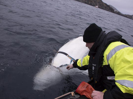 Joar Hesten tries to reach the harness attached to a beluga whale before the Norwegian fishermen were able to removed the tight harness, off the northern Norwegian coast. Since the white whale was freed, it has been seen frolicking in the waters of Arctic Norway.