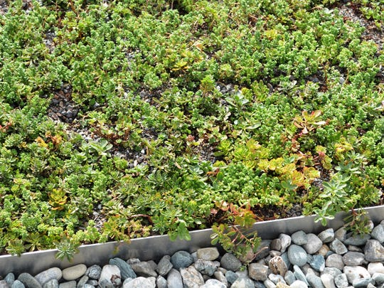 The 14,500 square-foot flat rooftop is decorated with hearty sedum varieties in jade, yellow and sea green. Sedums are succulent plants that survive well in a harsh environments, Gleason said. The soil is free draining and plants can go a while without water.