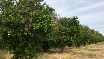 Citrus trees – some healthy, some decaying – currently occupy the 63-acre parcel being eyed for the Falcon Tech Center.