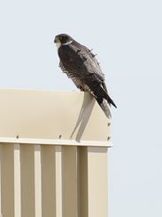 The falcon known as Rosalee watches for prey or intruders