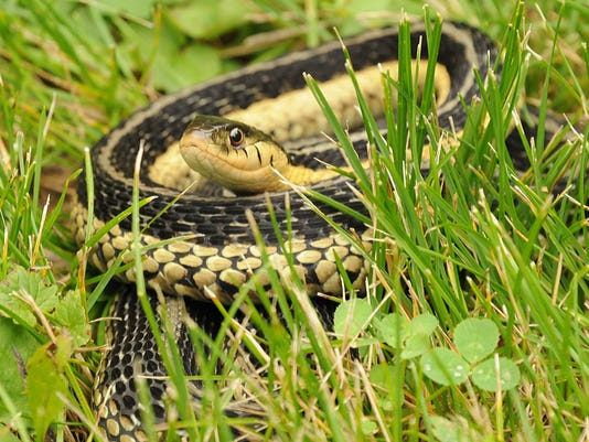 Garter snakes: Beneficial but difficult to love