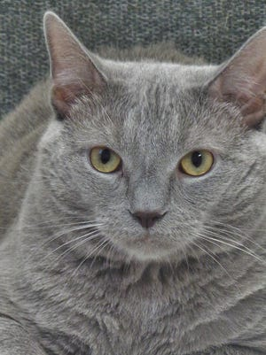 Smokey Mechu was surrendered to the shelter by his owners and he was already neutered when he came to us. He's a 2-year-old, all gray guy who is just a big, wonderful lovebug. He loves to pose for pictures! Smokey Mechu just wants a place where he can snuggle with his special human. Could that be you?