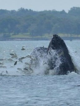 A whale spotted in the Long Island Sound off New Rochelle.