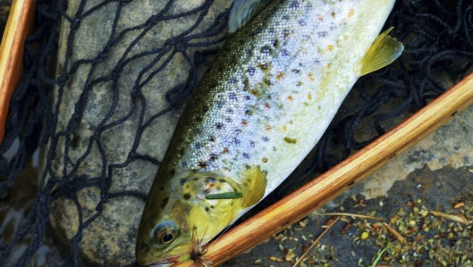 A brown trout that took a dry fly offered by the author.