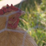 Idaho Hens in Boise, Idaho, rents out chickens to would-be backyard farmers.