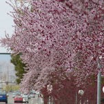 Blooming trees in the Treasure Valley.