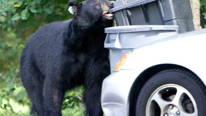 """In this Sept. 26, 2006 file photo, a black bear that had been previously  tranquilized and removed from a Waterbury, Conn., neighborhood in July, 2006, chews on a garbage container in Wolcott, Conn. The Connecticut Department of Energy and Environmental Protection said Tuesday, July 14, 2020, that they are receiving """"unprecedented numbers"""" of black bear complaints and that the state is on track to have three times as many cases of bears entering homes compared to the last two years."""