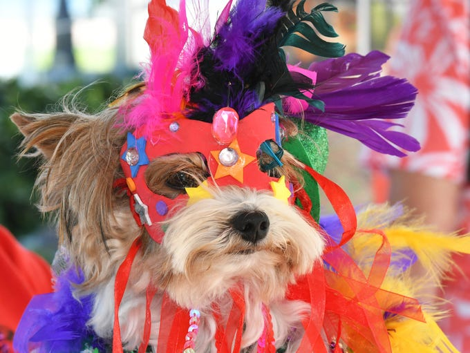 Reggie the Biewer Yorkie, of Space Coast Therapy Dogs,
