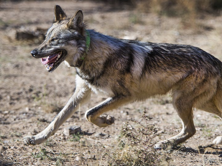 A male Mexican gray wolf tries to elude capture inside
