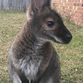 Businesses offer rewards for the return of Jeff the wallaby
