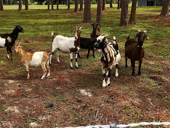 Goats on the Pitts family property in Briarcliff