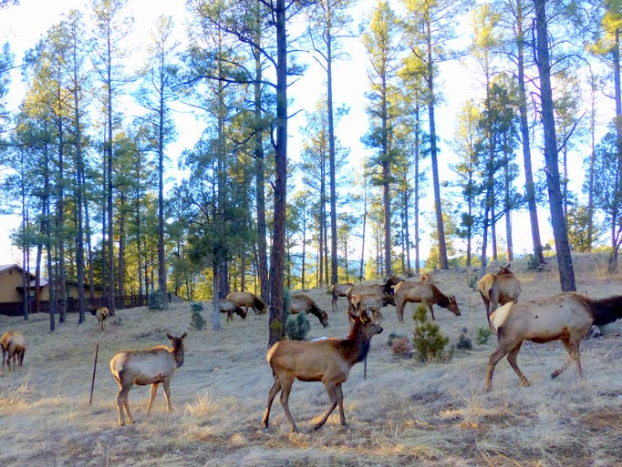 A herd of elk frequents the Hull Road and Cree Meadows