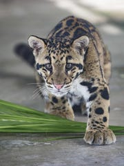 This clouded leopard and another will be on exhibit four days a week in Naples.