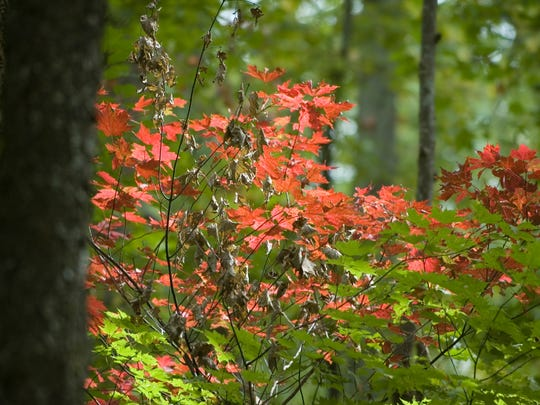Fall color starts to arrive in the trees along the one-way Roaring Fork Motor Nature Trail near Gatlinburg in the Great Smoky Mountains National Park.