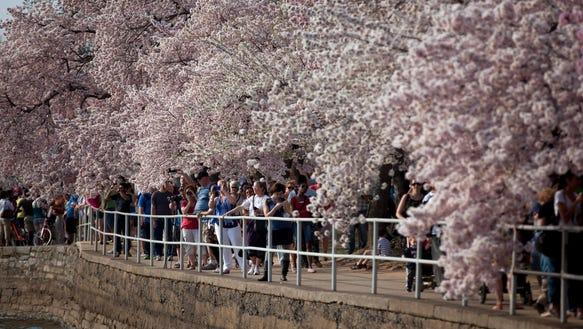 AP Cherry Blossom Festival