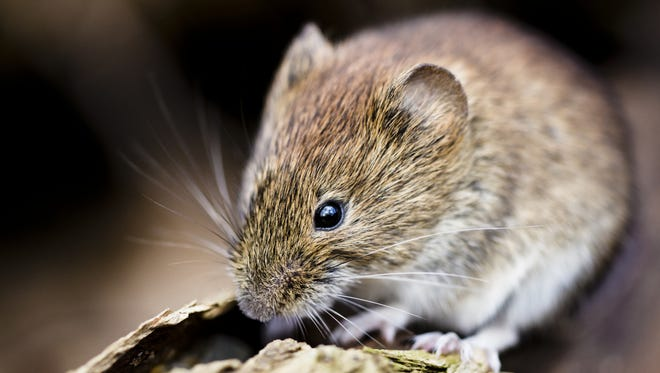 Meadow mice, also called voles, are ground-dwelling rodents with tiny ears and a chunky grayish-brown body. It ranges from 5 to 7 inches in length and has a short tail.