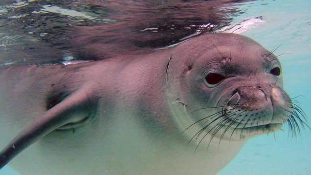 The Hawaiian monk seal is one of the species that is most at risk from sea-level rise in the U.S.