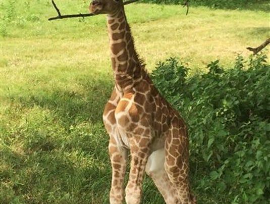Newborn Giraffe Dies_McDa
