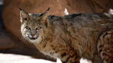 Arizona Game and Fish are on the hunt for a bobcat that bit five family members, including a 4-year-old girl, Sunday evening at a campground in Safford, which is a few hours southeast of Phoenix.