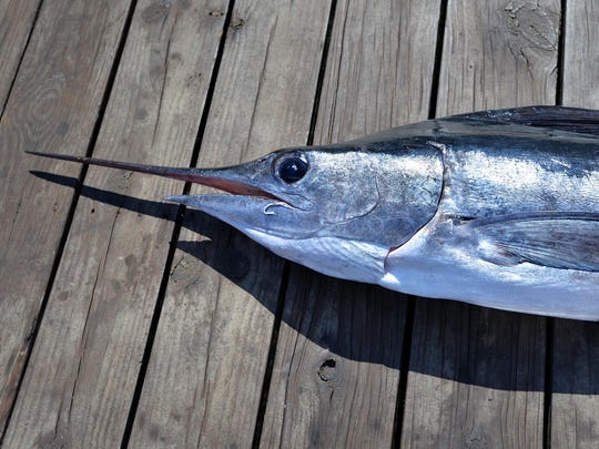 This file photo shows a 67-pound white marlin caught during opening day of the 40th annual White Marlin Open, but missed the qualifying weight of 70 pounds. The marlin was donated to the Maryland Food Bank.
