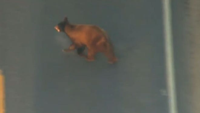 The bear was spotted near Pecos and Ellsworth roads, near Phoenix-Mesa Gateway Airport, at around 7:30 a.m.