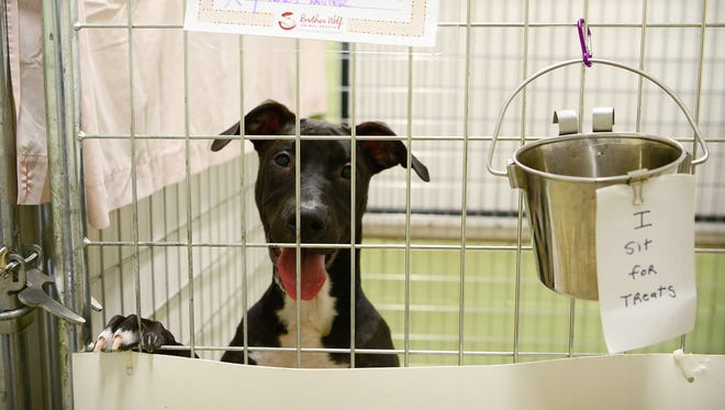 Crowly, a dog available for adoption, leaps up onto the bars of his crate at the Brother Wolf Animal Rescue adoption center in Asheville to beg for treats on Thursday, July 6, 2017.