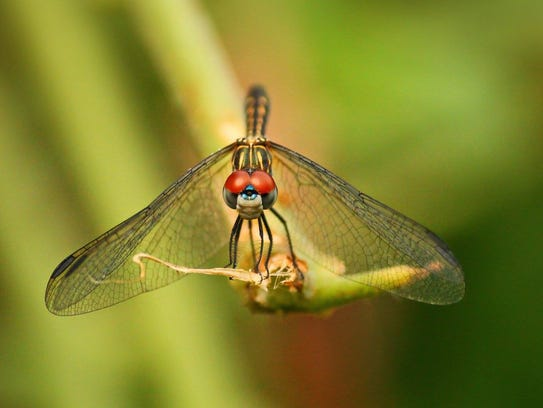 Many species of dragonflies perform grand migrations in winter.