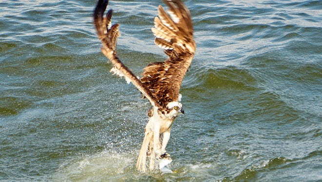Ospreys may be the deadliest anglers we have in Mississippi.