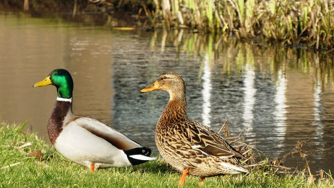Whitehall's ordinance to ban the feeding of waterfowl was approved Sept. 1 and takes effect immediately.