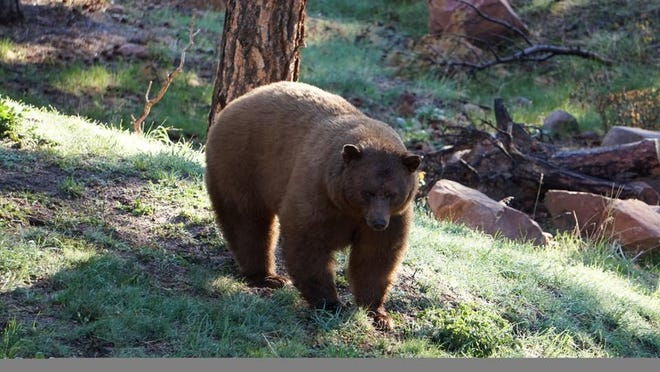 A large ambling black bear that was photographed in Beulah a few years ago.