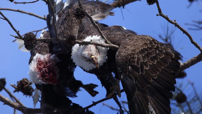 Two eagles were entrapped in a tree in Tuckerton last week. Eagle experts believe the two were likely fighting over nest territory.