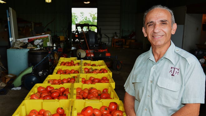 Dr. Joe Masabni, Texas A&M AgriLife Extension Service small-acreage horticulturist, stands next to more than 600 pounds of several varieties of tomatoes from a single harvest during his 2017 season tomato trials at the Texas A&M AgriLife Research and Extension Center in Overton
