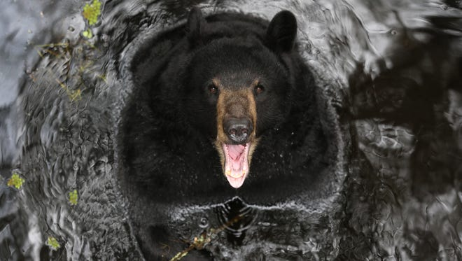 A 10-year-old female black bear swims at the Tallahassee Museum on Thursday, May 18, 2017.