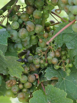 Riesling grapes split by hail at Sawmill Creek in Hector.