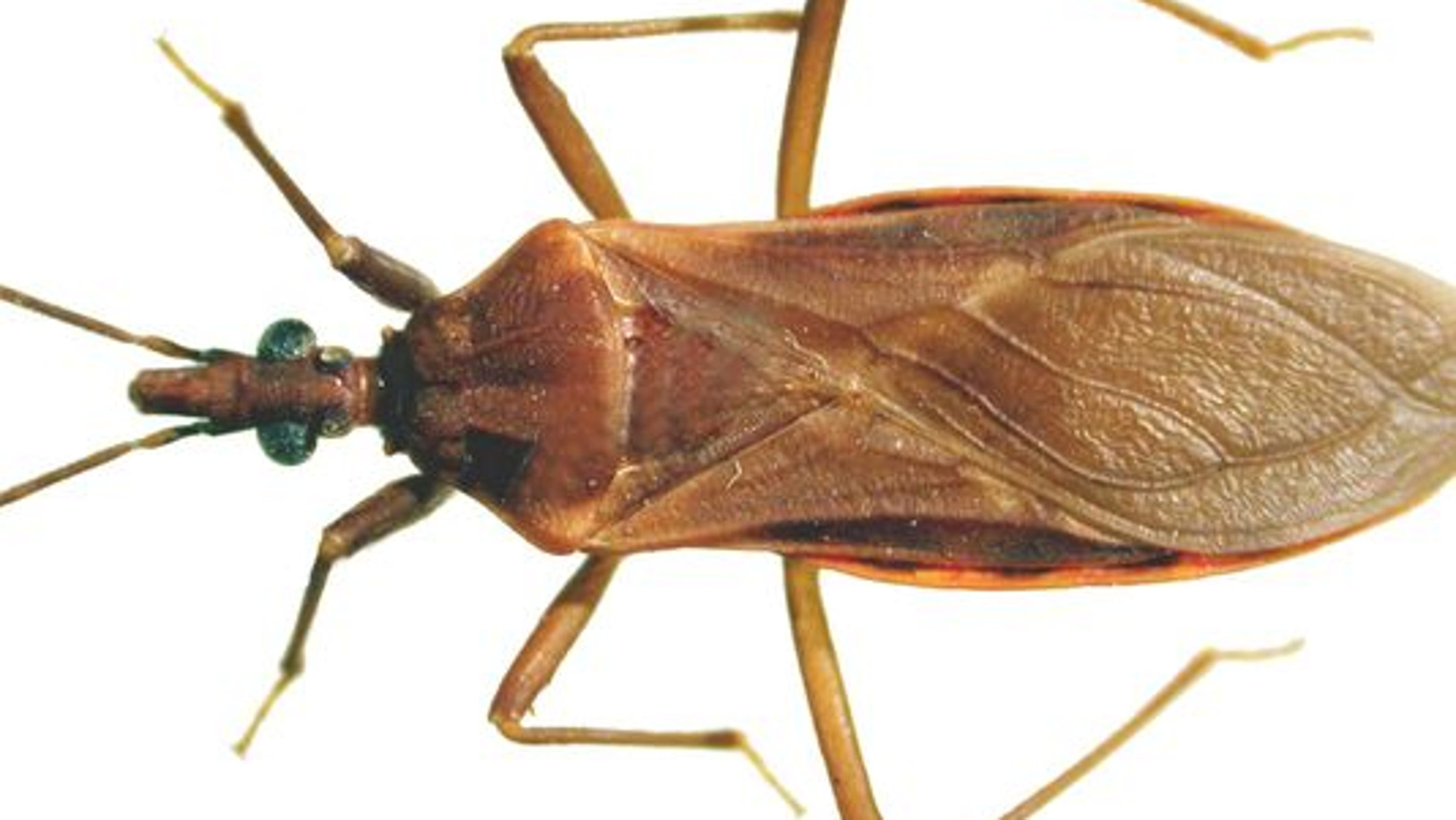 What is Chagas disease (spread by 'kissing bugs')?