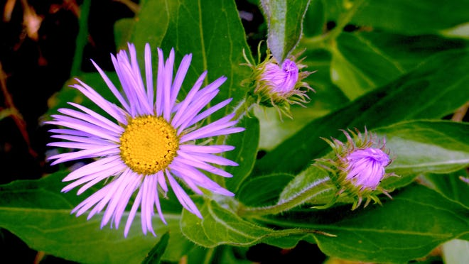 """Asters bloom in the fall with 2"""" inch, daisy-like flowers shaped like a star or the arms of a Ferris wheel. This aster is the hybrid 'Monch' that has dainty lavender blue ray and yellow disk flowers."""