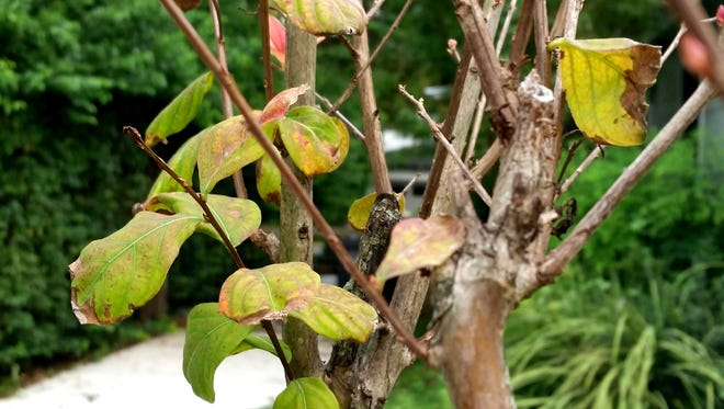 Despite damage from weedkiller, these crape myrtles could be OK. If they leaf back out this spring, they are likely to survive.