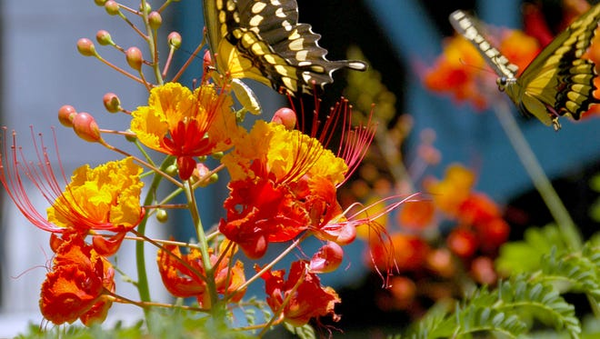 Pride of Barbados is bushy and stunning when grown in full sun, but in shade it becomes thin and lanky.