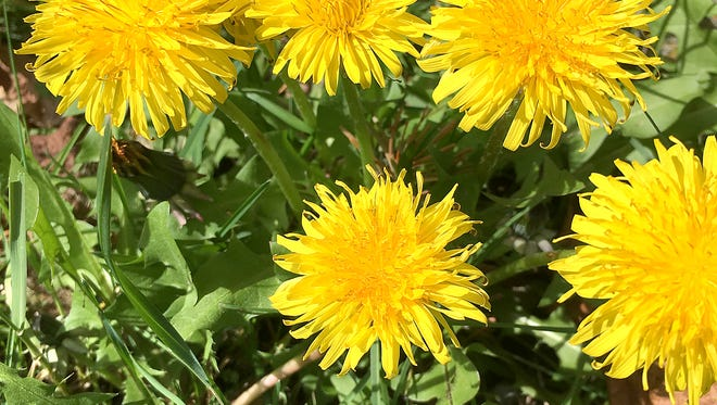 Dandelions are completely edible, and very nutritious. They taste similar to any bitter green, but some say they pack even more nutrients and minerals than typical super greens like kale and spinach.