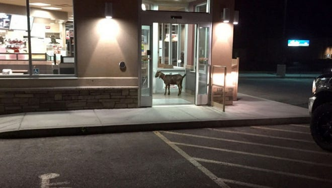 """A goat that settled down in the entryway of a Saskatchewan Tim Hortons was """"arrested"""" by Royal Canadian Mounted Police after refusing to leave the coffee chain."""